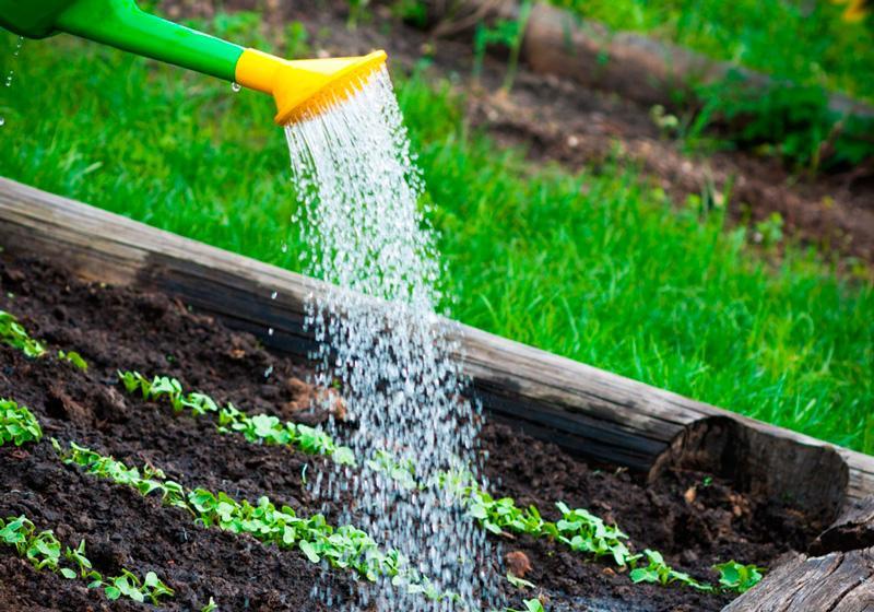 Как часто поливать капусту в открытом грунте и как правильно это делать