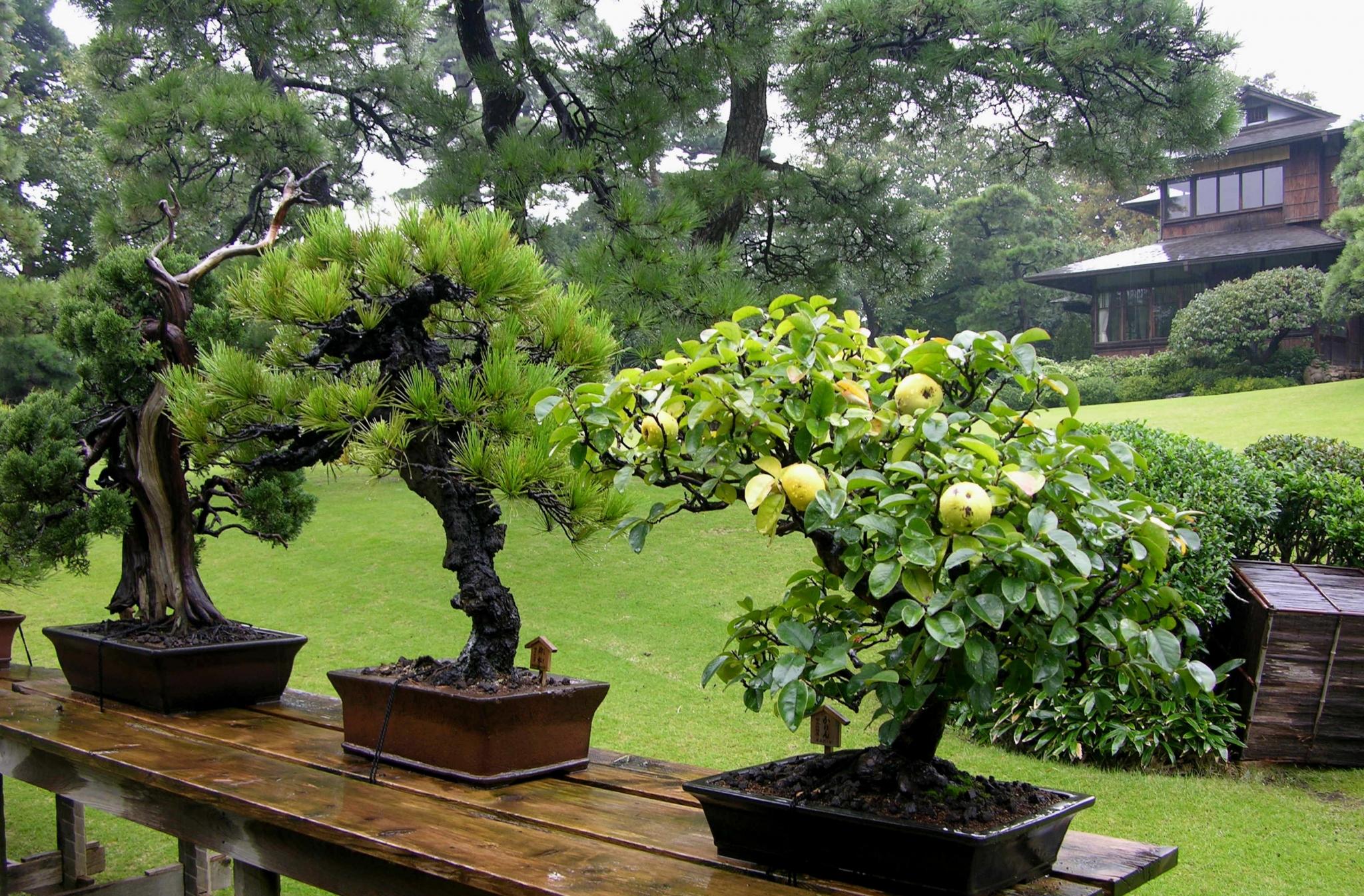 Карликовые деревья для дома: особенности ухода и 105+ уютных вариантов