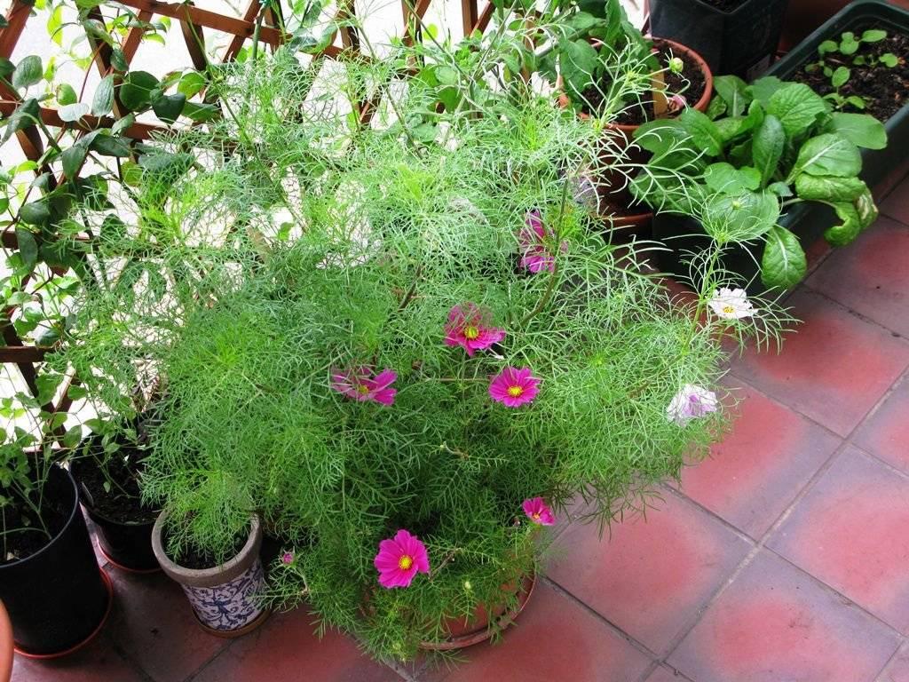 Космея - фото, посадка и уход, выращивание из семян, описание сортов и видов