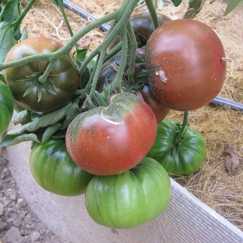 Характеристики и описание сорта томата поль робсон - всё про сады
