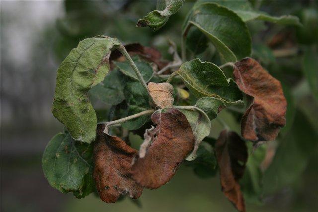 Что делать, если вянут листья у яблони и чем лучше лечить