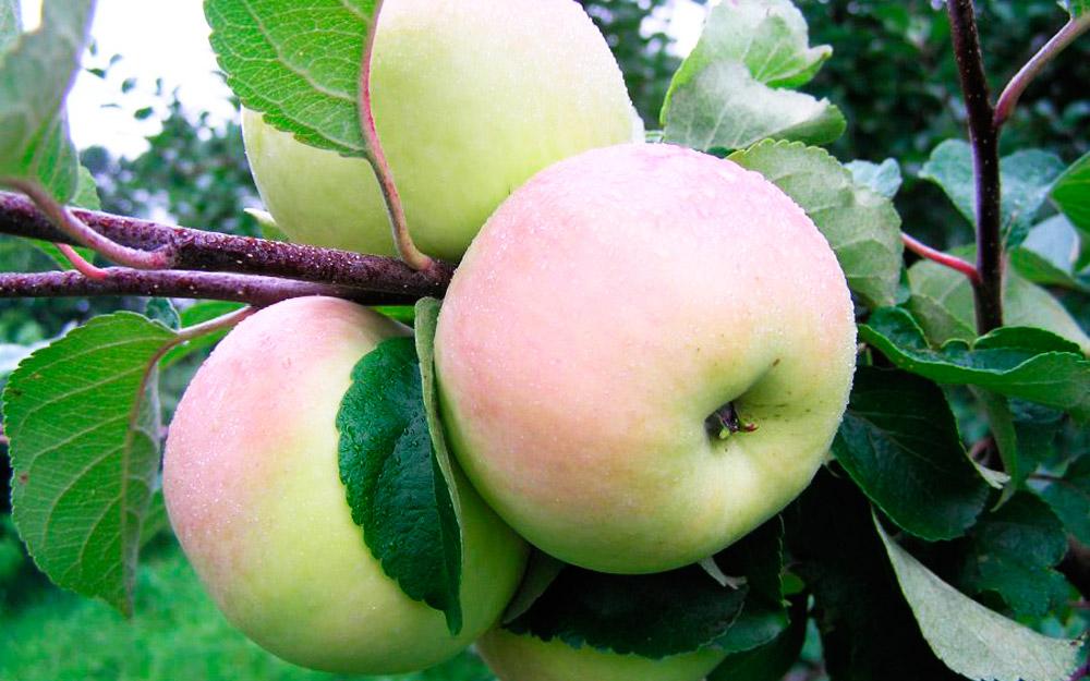 """Яблоня """"имрус"""": описание, фото, отзывы"""