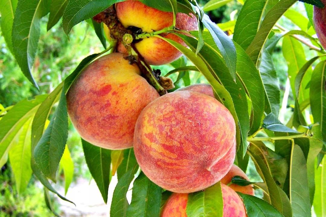 Выращивание персика в средней полосе россии: критерии выбора, лучшие ранние сорта, описание, правила и сроки посадки, особенности агротехники
