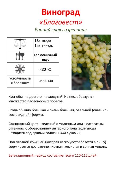 Сорт винограда ливия — описание, посадка и уход