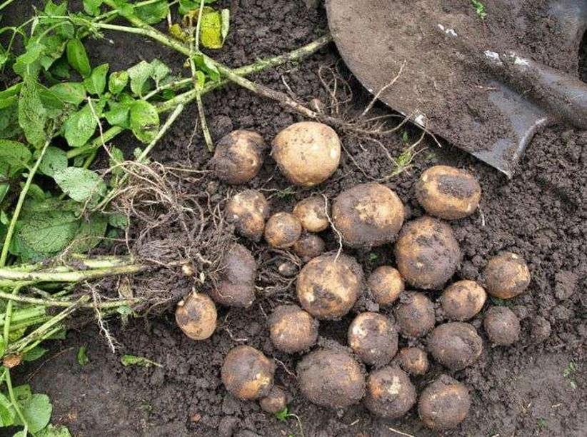 Картофель киви: описание сорта, вкусовые качества, фото