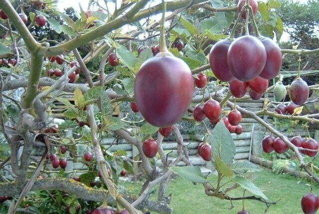 Тамарилло: выращивание фрукта в домашних условиях, фото томатного дерева