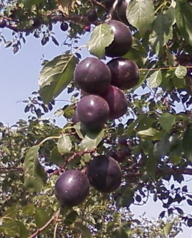 Колоновидные абрикосы: характеристики сорта и особенности развития