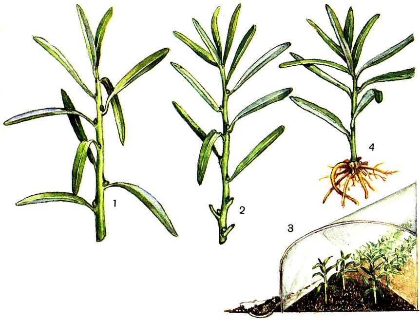 Эстрагон: посадка и уход , фото, выращивание из семян в открытом грунте + фото