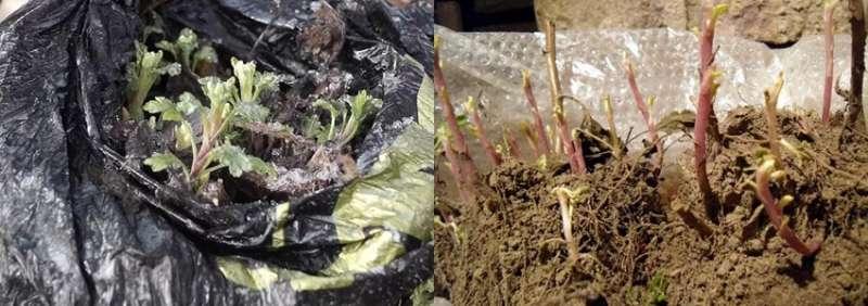 Как сохранить хризантемы зимой и когда доставать весной