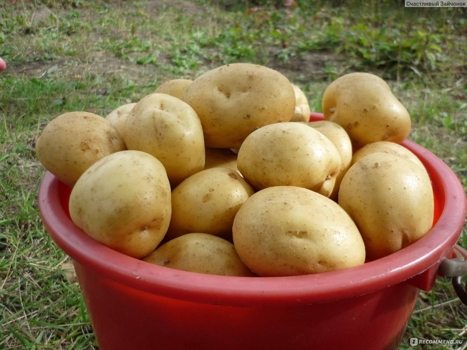 Картофель гала – описание сорта, фото, отзывы