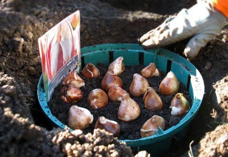 ✅ посадка тюльпанов в корзины, ящики и контейнеры для луковичных: как правильно сажать цветок осенью в открытый грунт - tehnoyug.com