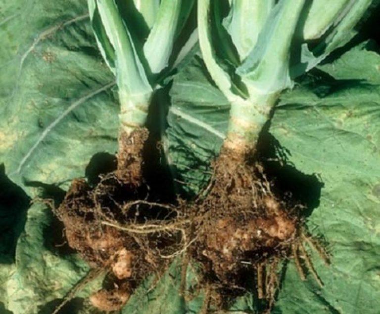 Что такое кила капусты, причины, как избавиться, меры борьбы, народные средства