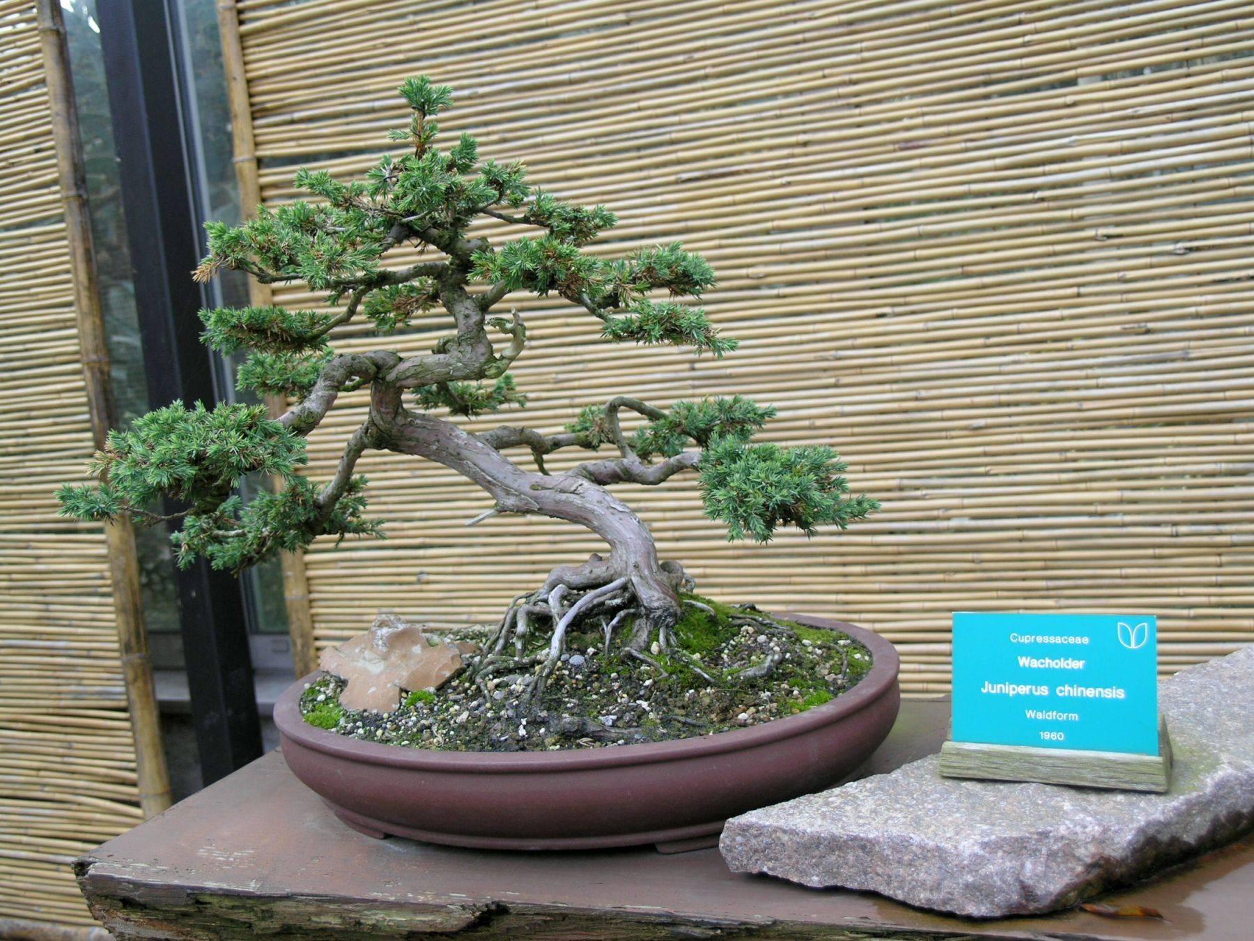 Как вырастить бонсай своими руками в саду: посадка, уход, формирование кроны