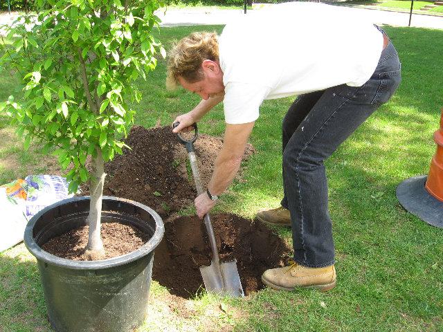 Можно ли пересаживать взрослую яблоню на другое место, когда и как правильно это делать - всё про сады