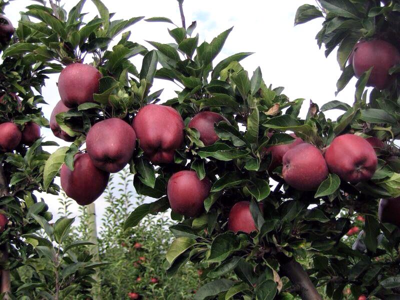 Яблоня ред чиф: сортовые характеристики и особенности выращивания