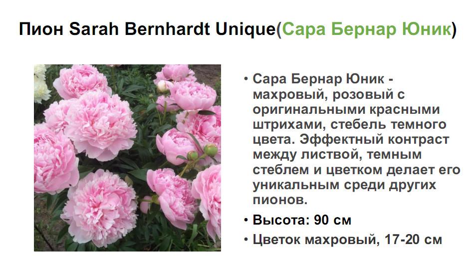 Пион «сара бернар»: описание и отличительные особенности сорта (с фото)