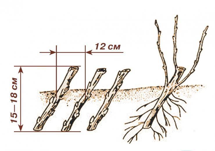 Как правильно размножать вишню черенками, порослью, отводками