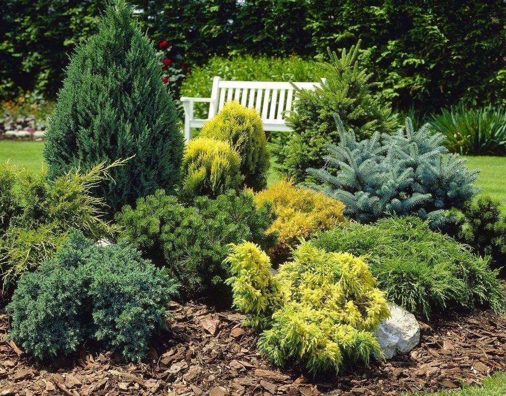 Самые неприхотливые хвойные растения для дачи