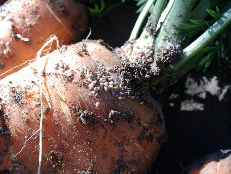 Как бороться с тлей на моркови препаратами и народными средствами