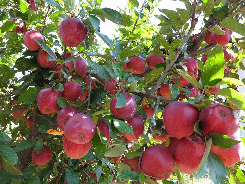 Почему не плодоносит яблоня и что при этом делать?