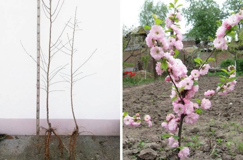 Особенности декоративного миндаля, принцип ухода за кустарником