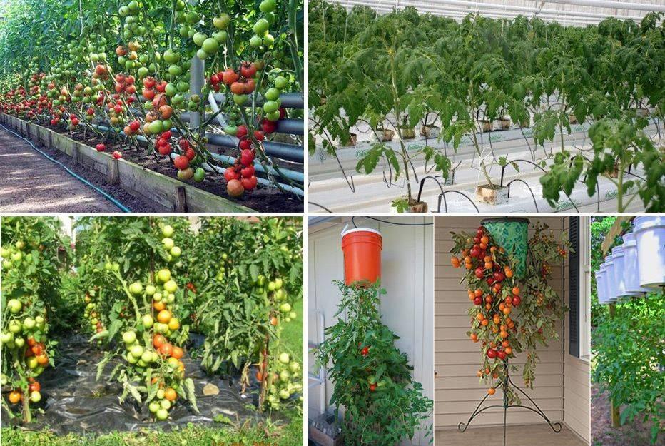 Суть голландской технологии выращивания помидор - огород, сад, балкон - медиаплатформа миртесен