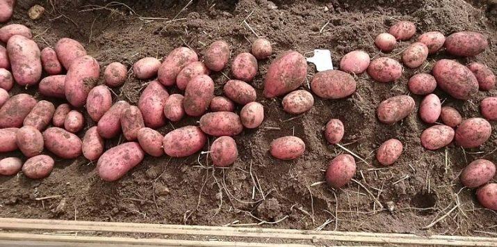 """Раннеспелый устойчивый к засухе сорт картофеля """"ред леди"""" для долгого хранения - агроном эксперт"""