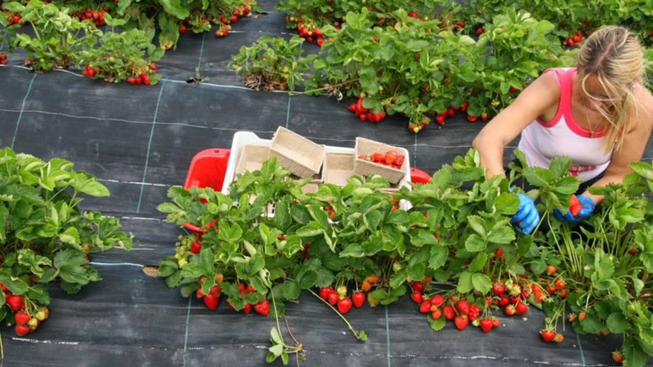 Бизнес-план выращивания клубники круглый год в теплице
