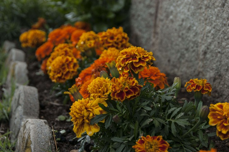 Бархатцы - сорта, посадка и уход в домашних условиях, выращивание из семян