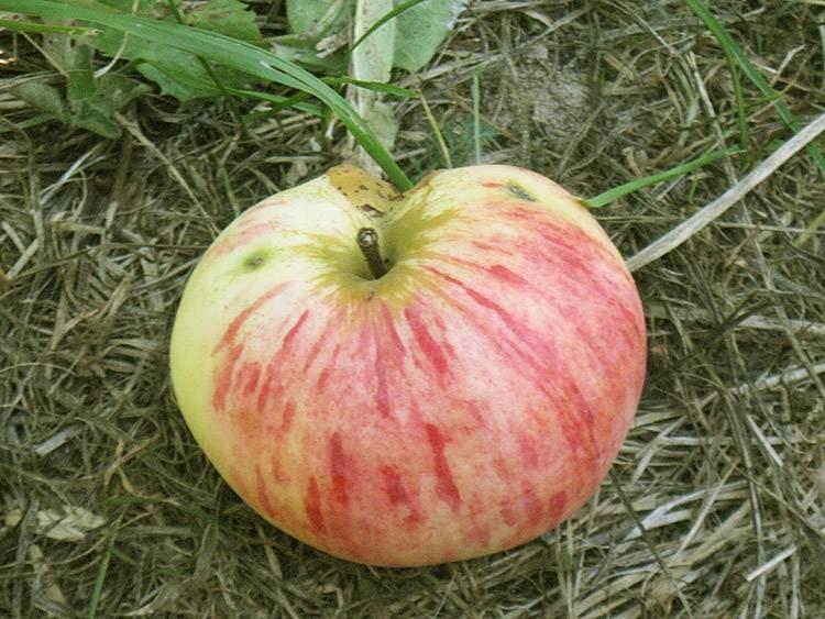Яблоня летнее полосатое: отзывы, секреты выращивания, фото сорта