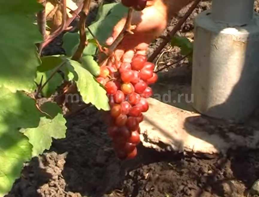 Виноград со сладким, но ненавязчивым вкусом — сорт «памяти учителя»