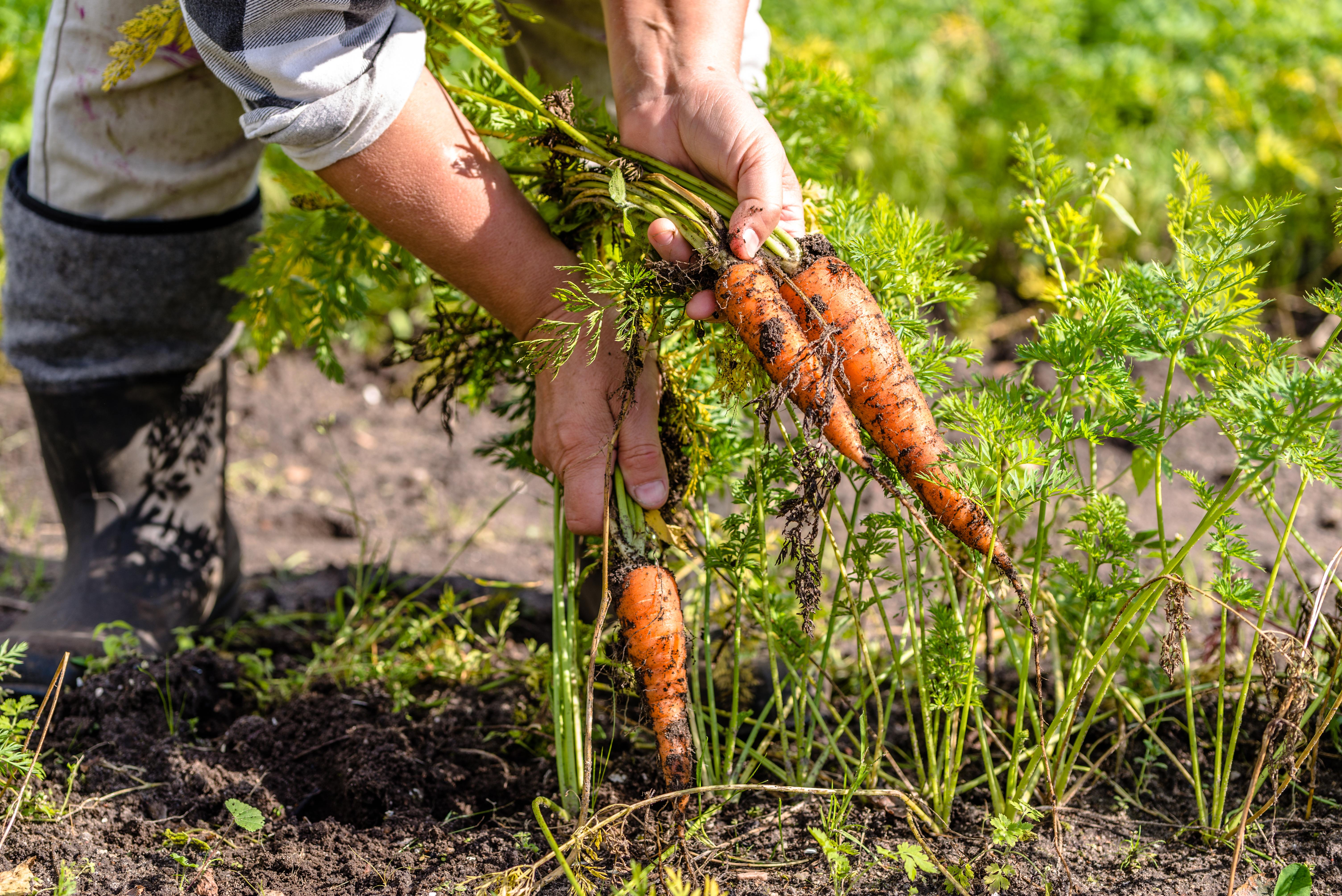 Когда убирать морковь с грядки на хранение в 2021 году: таблица сроков уборки по регионам, полезные советы и правила хранения