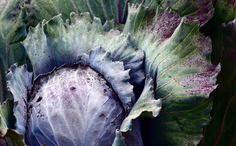 Почему у капусты фиолетовые листья: причины, что делать и чем подкормить, отзывы