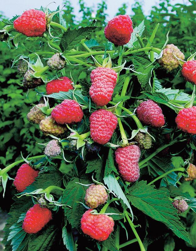 Штамбовая малина сорта таруса, первопроходец отечественного садоводства