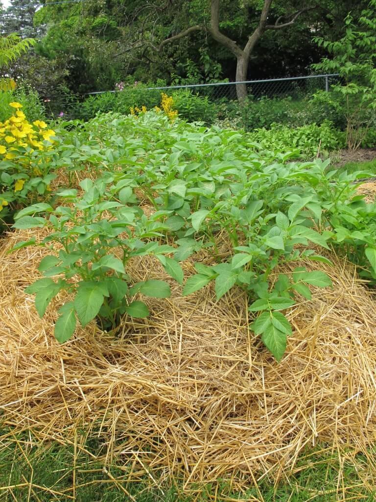 Мульчирование картофеля скошенной травой