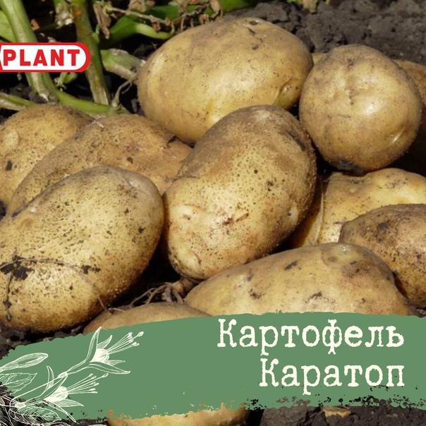 Картофель каратоп: описание сорта, фото, отзывы, вкусовые качества