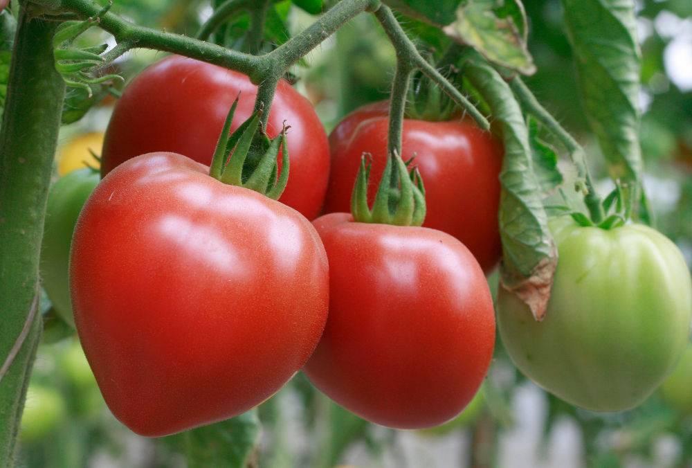 Томат бабушкина гордость: выращивание, уход и фото
