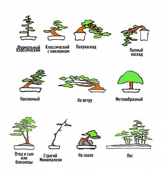 Бонсай - уход в домашних условиях: как его выращивать и поливать, вносить удобрения и создать оптимальные условия для необычного комнатного растения