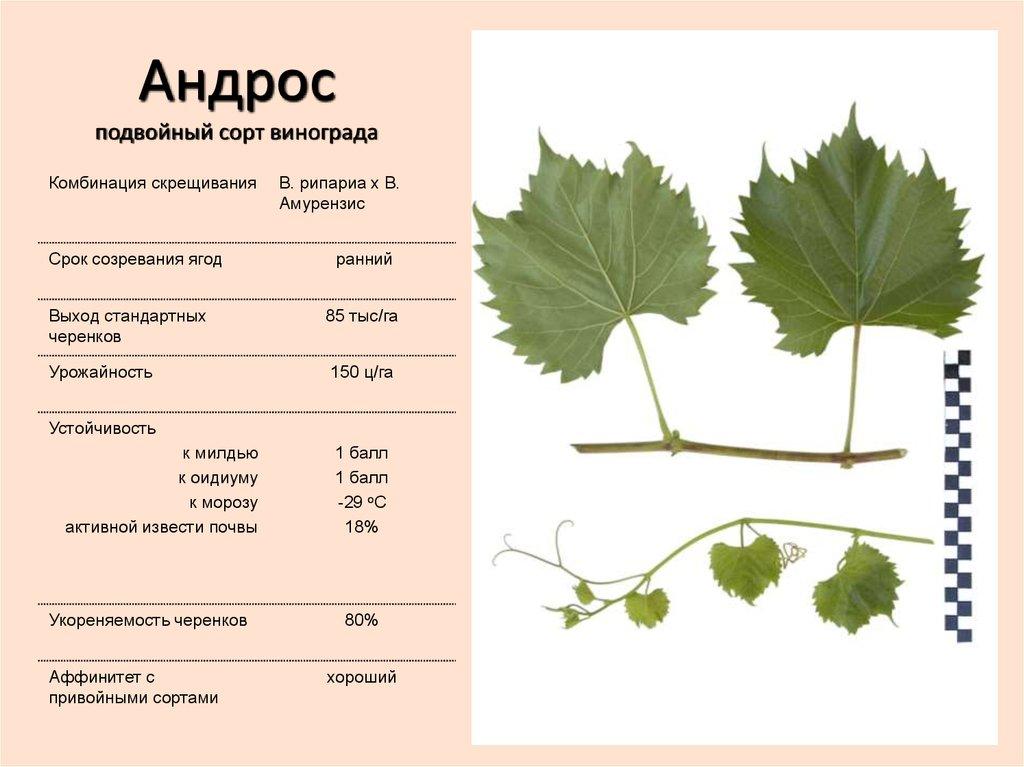Сорта винограда для средней полосы россии: фото с описанием, особенности выращивания