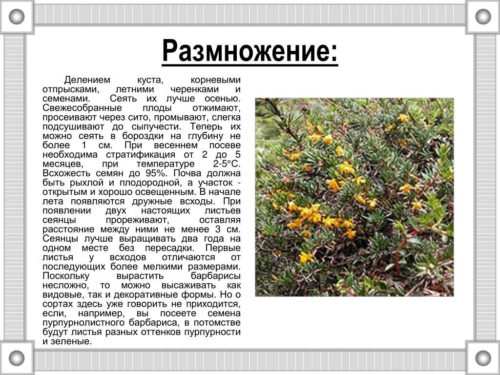 Основные способы размножения барбариса: семенами, корневой порослью, отводками, делением куста и черенками