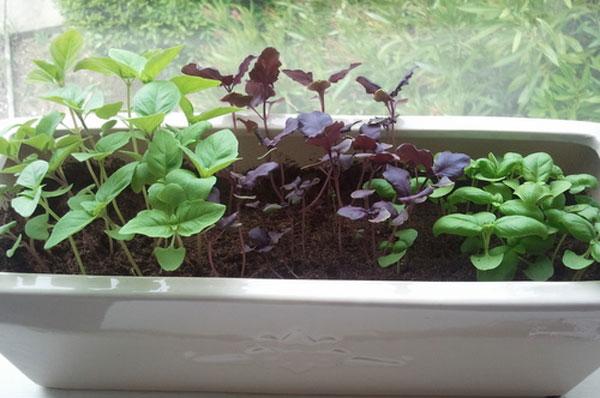 Выращиваем базилик на подоконнике