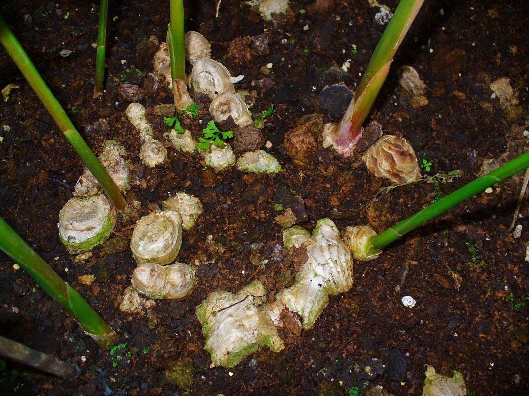 Как выращивать имбирь в огороде и у себя на даче в открытом грунте: можно ли получить корень в средней полосе россии и подмосковье, как сажать и ухаживать?дача эксперт