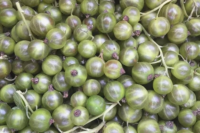 ✅ смородина с зелёными ягодами изумрудная (изумрудное ожерелье): характеристики - tehnoyug.com