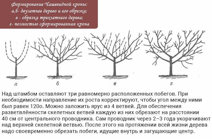 Формирование кроны молодой и старой яблони: правила обрезки и схемы формировки