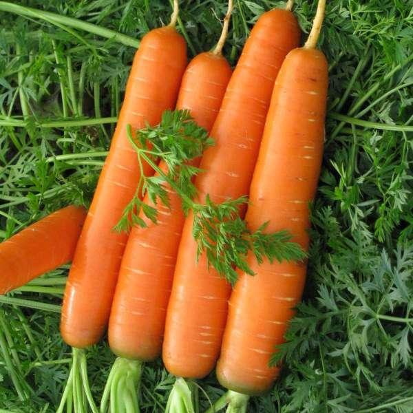 Морковь абако f1: описание сорта, технология выращивания, посадка и уход, повышение урожайности, сбор и хранение плодов, отзывы