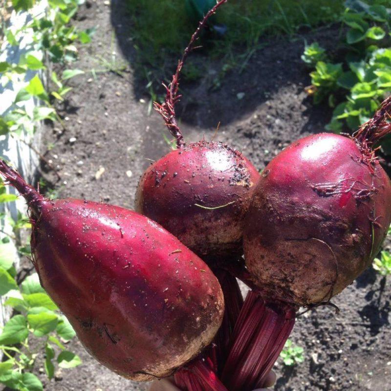 Свёкла пабло f1: описание и характеристика, особенности выращивания и ухода, фото, отзывы