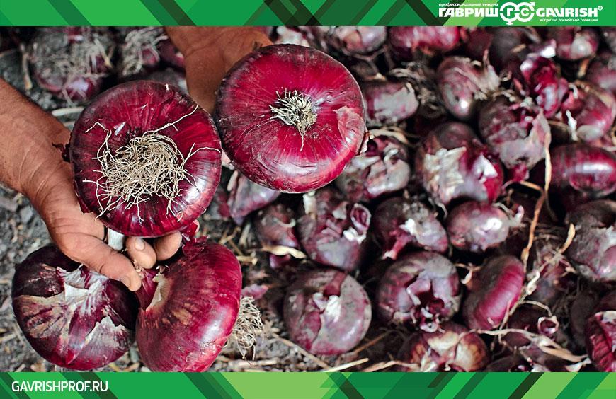 Крымский лук: выращивание в средней полосе