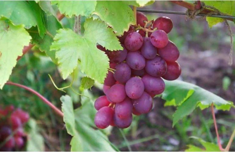 Сорт винограда памяти учителя: фото, описание и отзывы
