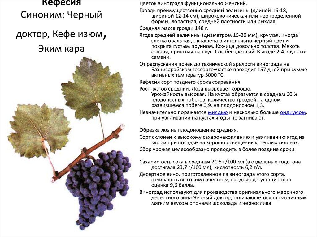 Сорт винограда страшенский, описание с характеристикой и отзывами, особенности посадки и выращивания, фото