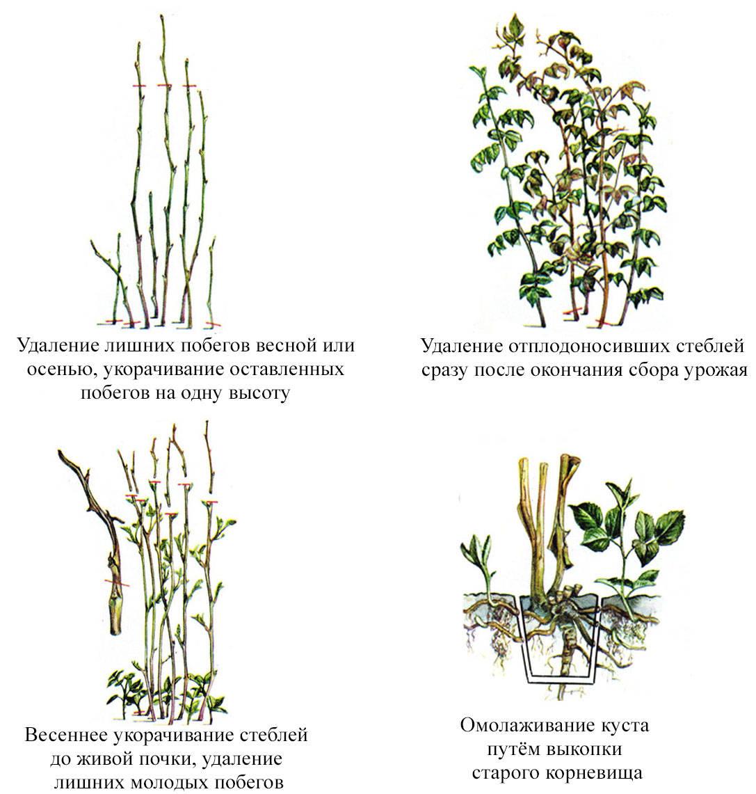 Ремонтантная малина — выращивание и уход, размножение, обрезка